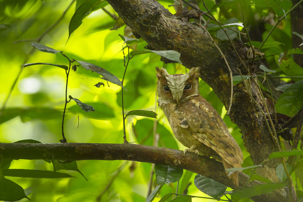 White-fronted Scops-Owl