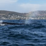 Sei Whale off Newport Beach
