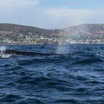Sei Whale off Newport Beach