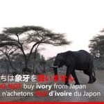 「私たちは象牙を買いません」アフリカゾウの写真
