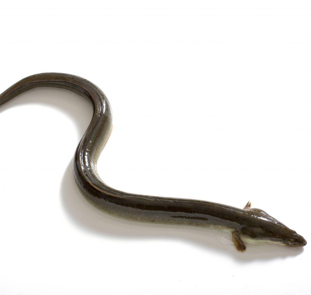 ニホンウナギ