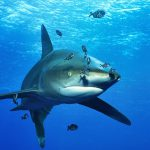 Oceanic white-tip shark