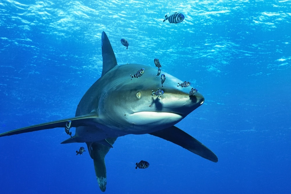 Oceanic white-tip shark